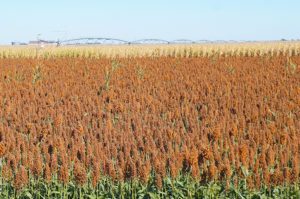 China Drops Investigations, Top Market for Sorghum Reopens
