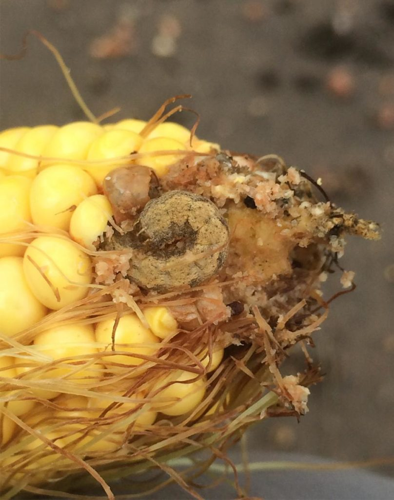 Herculex Trait Fails Against Western Bean Cutworm