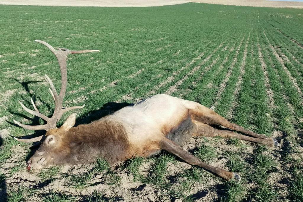 Reward Doubled for Information on Poached Elk