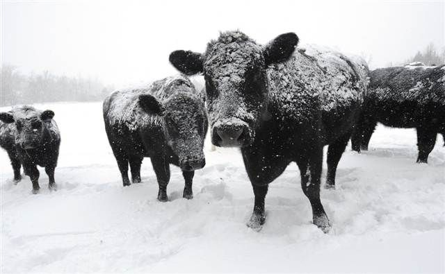 Cattle loss estimated at 4,000 in Scottsbluff area