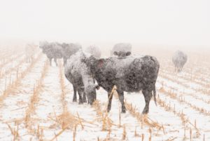 Winter Weather Cattle Loss May Be Covered by LIP