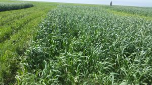 Cover Crop Field Day planned at K-State HB Ranch