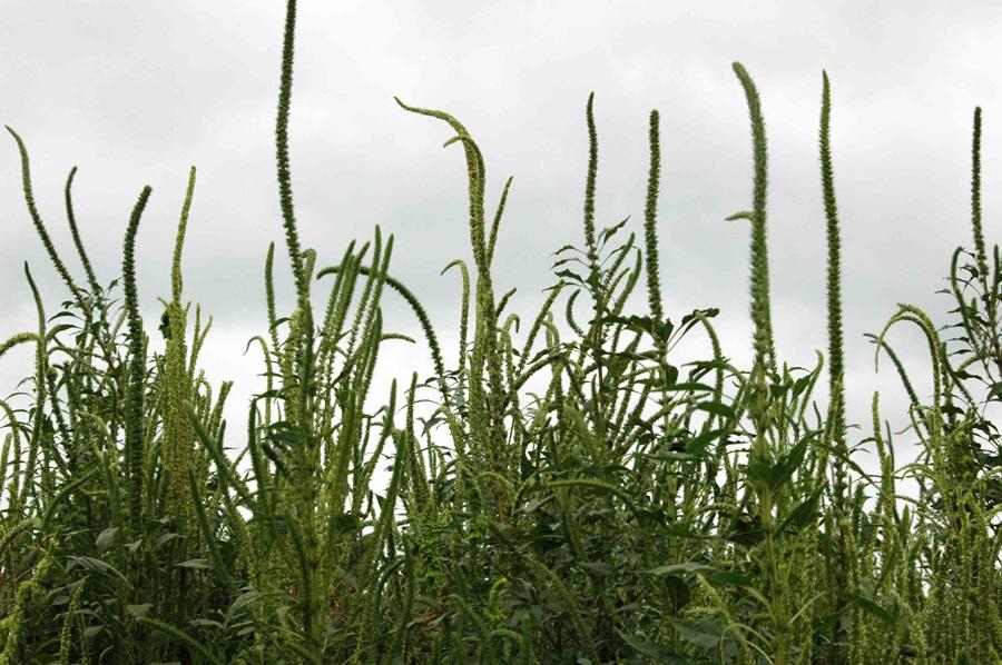 North Dakota adds 2 weeds to noxious list