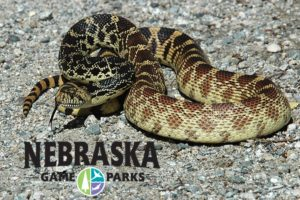 Nebraskans encouraged to vote for a state reptile