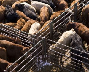 United States Cattle on Feed Up 8% *AUDIO*