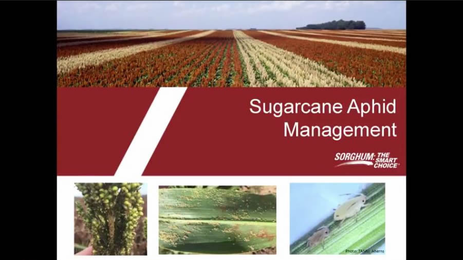 Sorghum Checkoff Releases Videos on Sugarcane Aphid Management