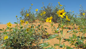 Researchers Look to Wild Sunflowers for Genetic Diversity