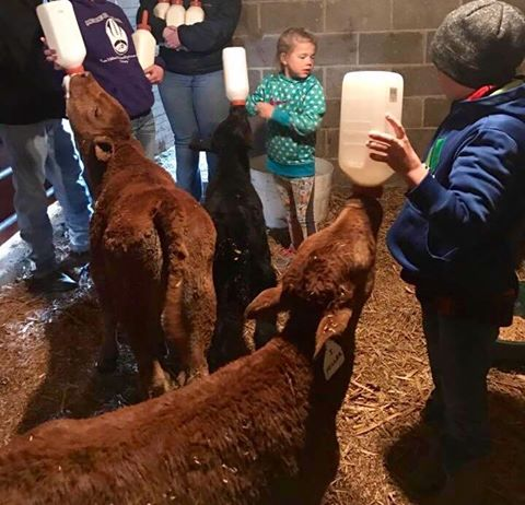 Kansas Wildfires: 4-H'ers, volunteers rally to save orphaned calves