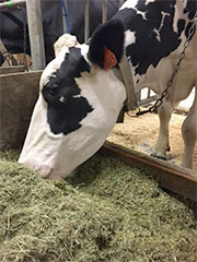 Dairy Producers Enrolled in Livestock Gross Margin Program Eligible for 2018 MPP