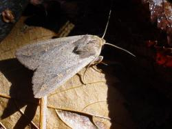 USDA to Consider Release of GM Moths, GM Virus