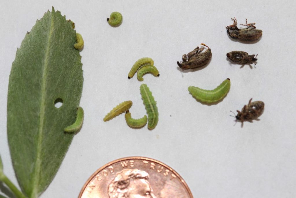 Scouting Advised for Alfalfa and Clover Leaf Weevils