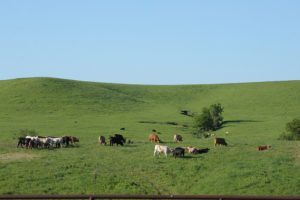 Beef Cattle Contribute to Sustainable Food System