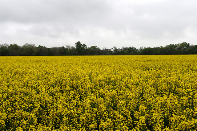 Winter canola featured at K-State field days this spring