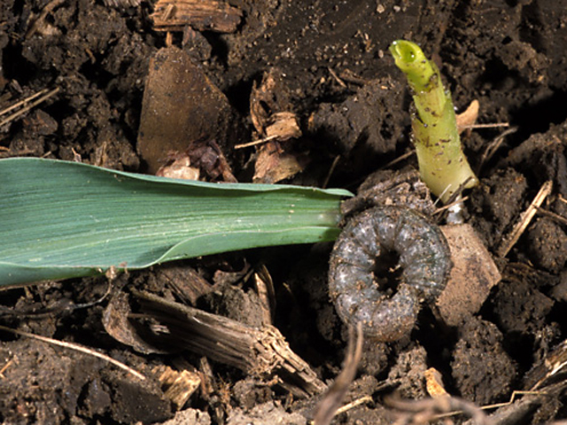 Insect Damage Could Add to Corn Belt's Woes