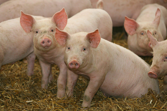 Research Keys Advances in Swine Industry the Past 20 Years
