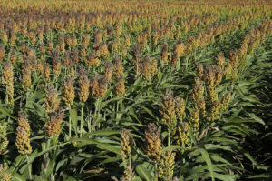 China Trade Team Checks out Sorghum