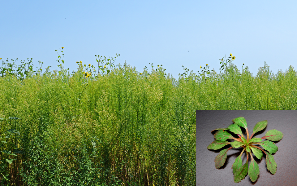 When is a Good Time to Scout and Control Glyphosate-Resistant Marestail?