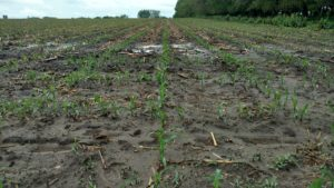 Effect of Excessive Rainfall on Efficacy of Residual Herbicides Applied in Corn and Soybean