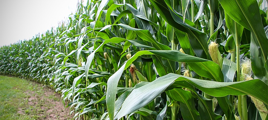 Dow AgroSciences Announces Launch of Enlist™ Corn for 2018 Planting