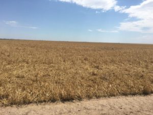 Western Kansas Wheat Harvest Sees Tough Conditions