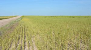 Bacterial Leaf Streak More Prevalent in Winter Wheat in 2018
