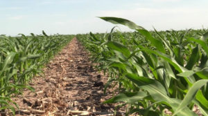 Trade, Other Concerns Ease Somewhat With Corn Price Rally