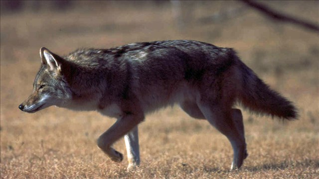 Game and Parks reminds pet owners to be vigilant against coyotes