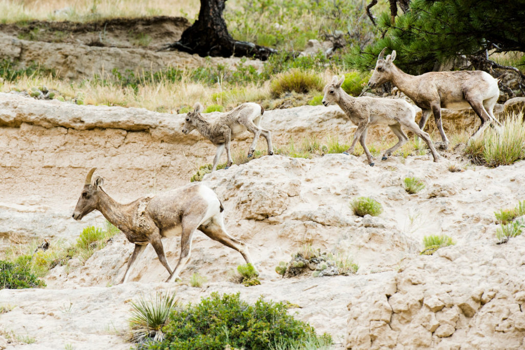 Researchers studying Pine Ridge bighorn lamb deaths