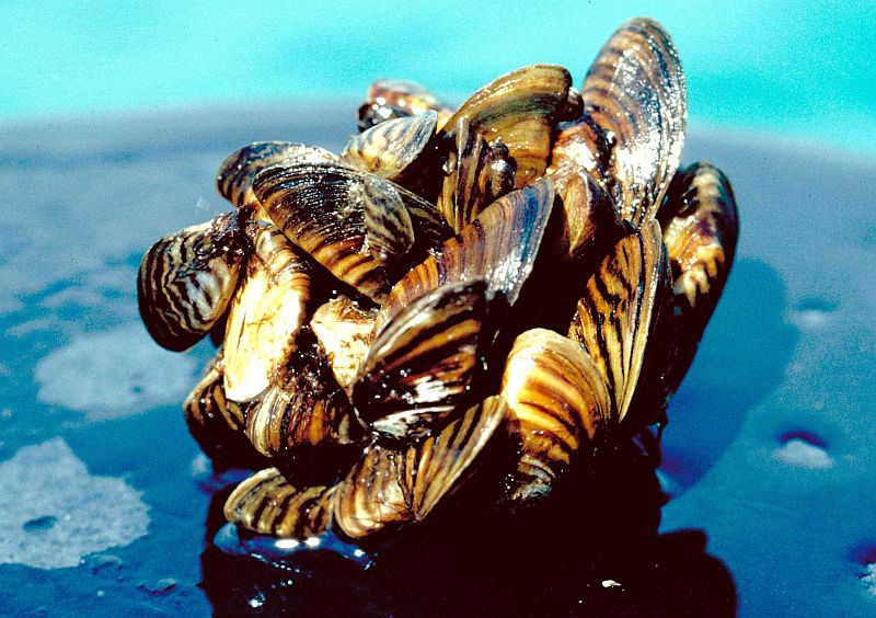 Invasive zebra mussels confirmed at Cunningham Lake in Omaha