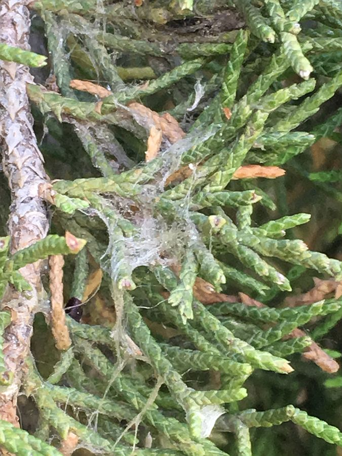 Spider Mite Outbreak in Juniper and Cedar trees