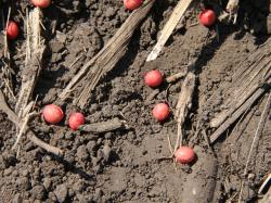 Study Finds Soybean Seeds Carry Fungal Pathogens