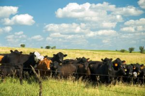 Wet Conditions and Skin Rashes in Cattle