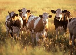 (Audio) Cattle At Risk Under High Heat Index