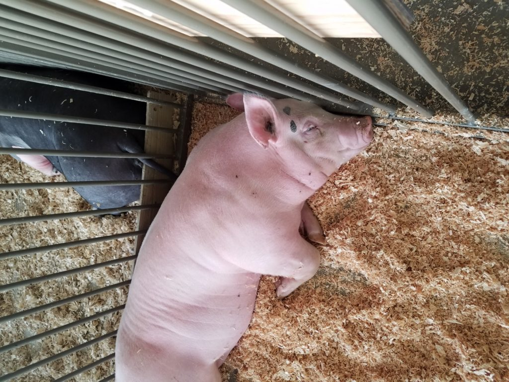 Scotts Bluff County Fair sale has fewer animals, but strong prices