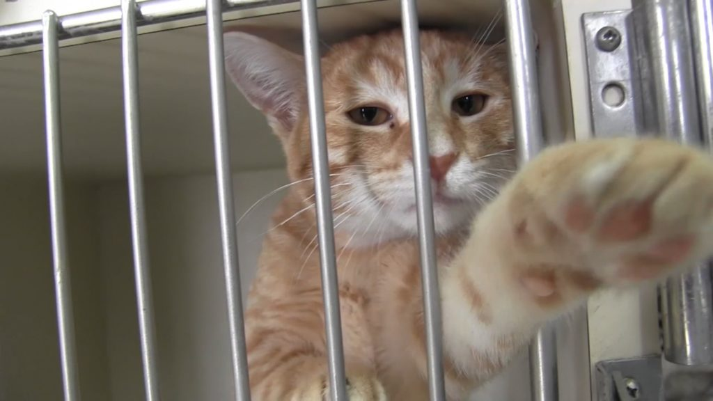 "Panhandle Humane Society at ""Cat""Pacity; offering $5 adult cat adoptions"