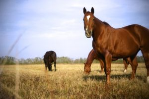 Oklahoma's Choctaw horses connect to Mississippi