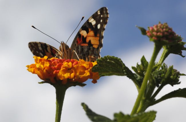 Nebraska sees spike in butterfly population