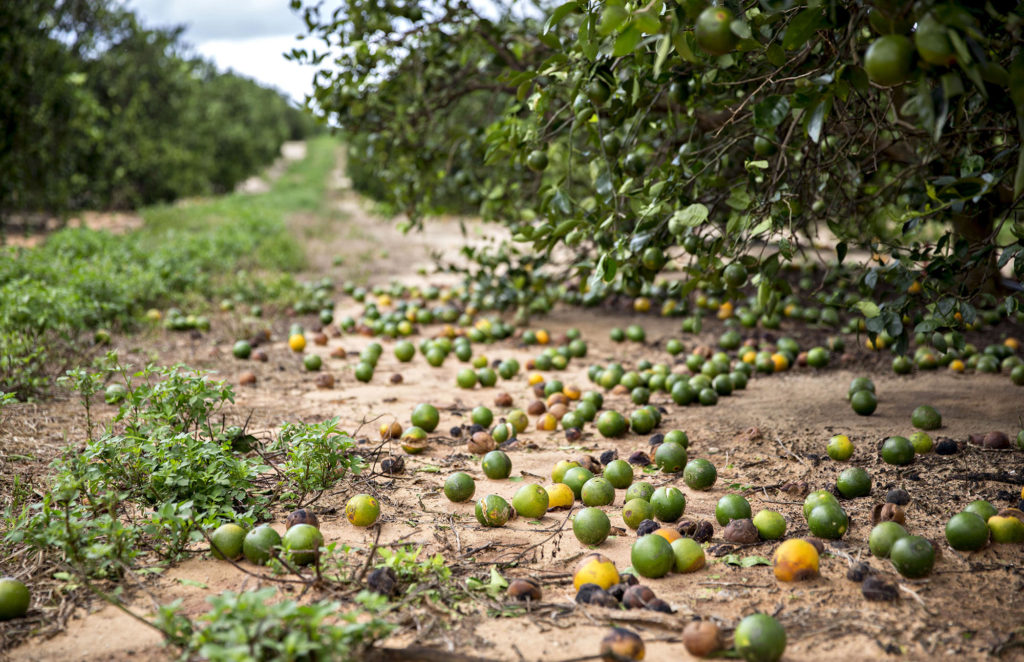 South Florida citrus crop loss estimated at 50-70%, says FFVA
