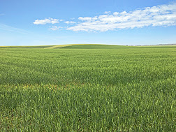 Soft Durum Wheat Opens Door to Expand Food Uses