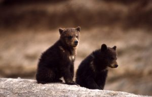 Orphaned Grizzly Cubs coming to RDC Zoo