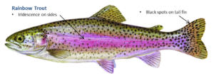 (Audio) Thousands Of Trout Going Into Fremont Lakes On Wednesday