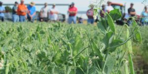 2017 field pea variety trial results available online