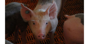 K-State Swine Day scheduled for Nov. 16