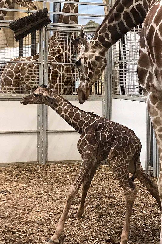 Omaha's Henry Doorly Zoo and Aquarium welcomes second Giraffe calf this year