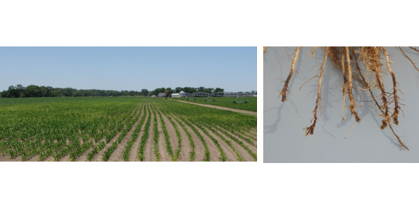 Corn Board supports free corn nematode testing