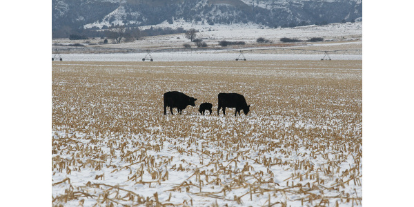 Nutrient demands of cows grazing cornstalks