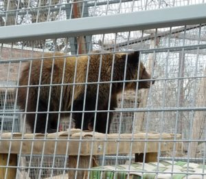 RDC kicks off capital campaign to raise $500K for new grizzly bear exhibit