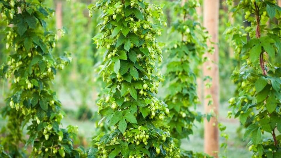 Brewers, hop growers set for conference in downtown Omaha