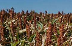 Sorghum growers to NCTA on Jan. 18th