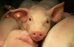 *Audio* Alternative Antibiotic Gives Piglets a Boost